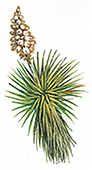 The yucca plants has many medical and non-medical uses.